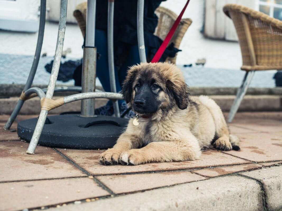 Leonberger puppy lying on the pavement under a table
