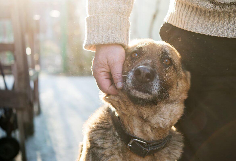 German shepherd leans against person