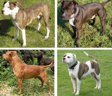 Four breeds of pit bull, American Pit Bull Terrier, American Staffordshire Terrier, American Bulldog, and Staffordshire Bull Terrier