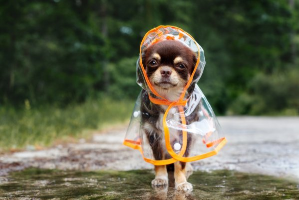 chihuahua wearing clear raincoat
