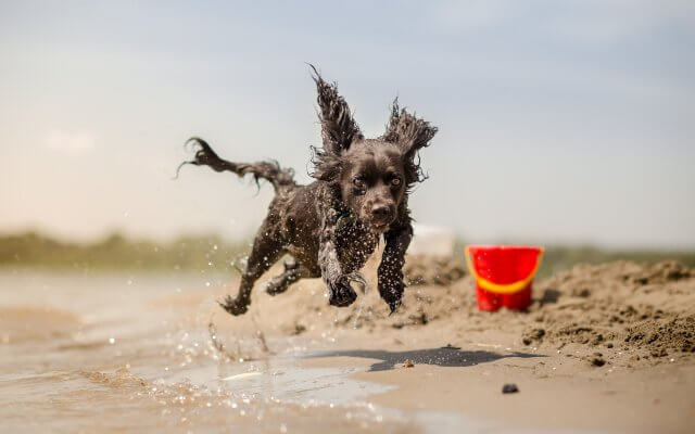 small black dog running on the sand