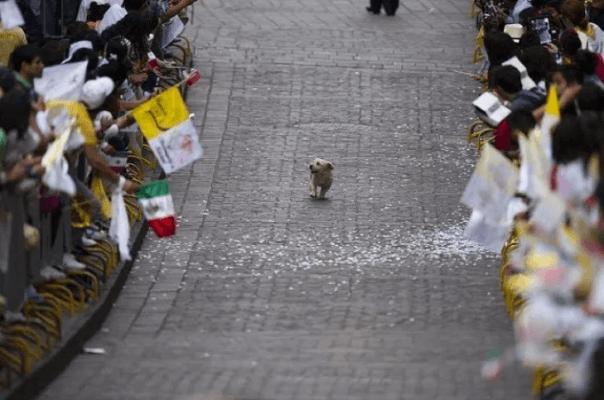 Dog walks parade with no anxiety