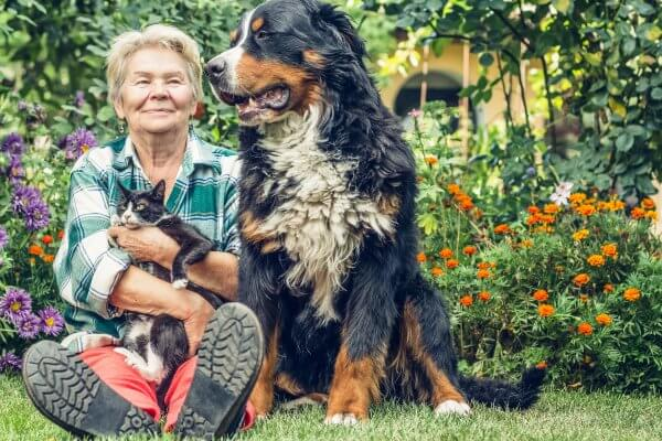 Grandmother sitting in the garden with a cat in his hands and sitting next Mountain Dog. Grandma smiled sweetly dog.