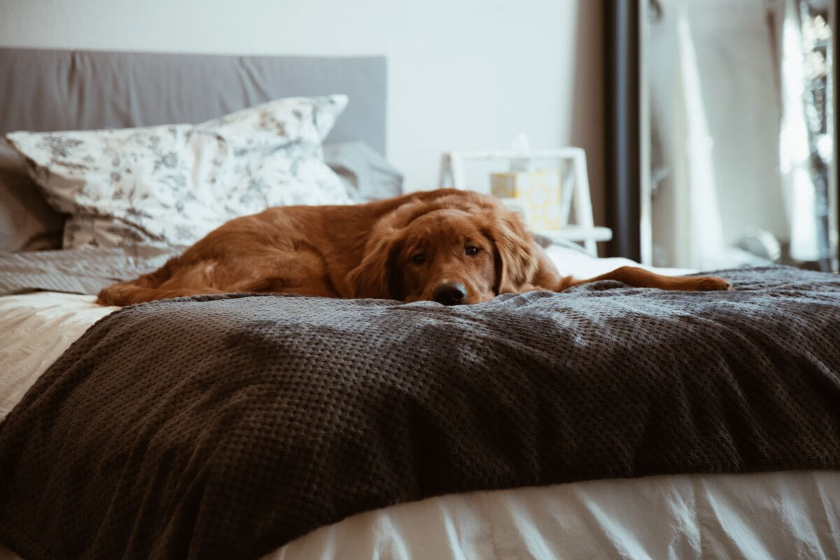 A dog lying in a person's bed. Keeping your dog in your apartment when your landlord says no pets