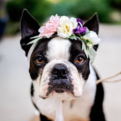 Dog with flower headband for a no pet allowed resume